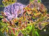 artichokes 5