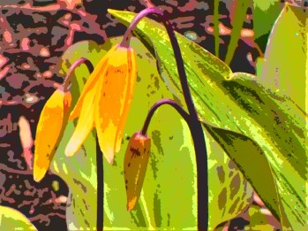 3 bell lily