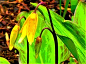 bell lily 7
