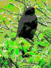 blackbird 5