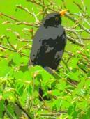 blackbird 8