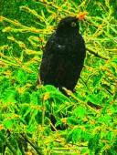 blackbird 9