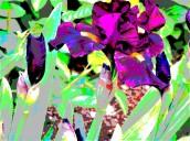 van gog iris 4