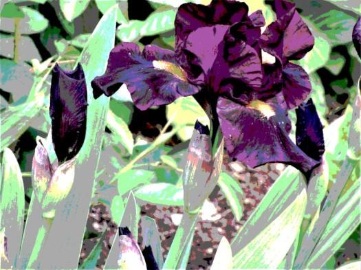 van gogh iris 3
