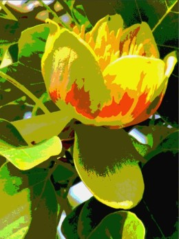 tulip tree 4
