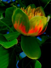 tulip tree night