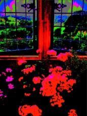 geraniums at dusk