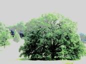 4 heart of oak
