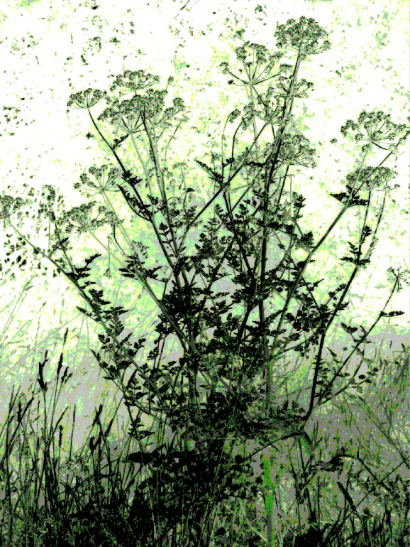 cow parsley 1