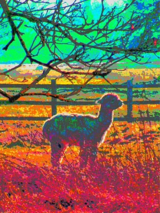 rainbow alpaca