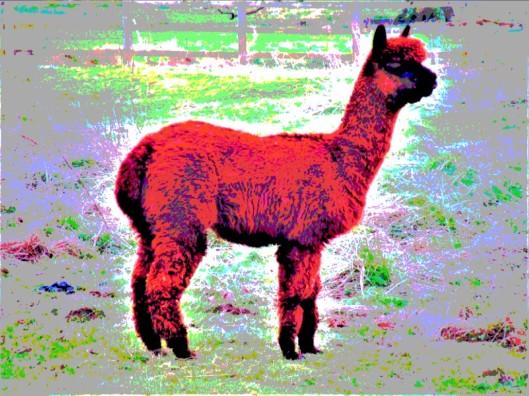 red alpaca