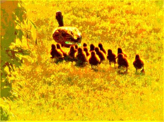 golden mother duck