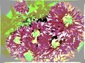 chrysanths 4