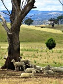 pastoral australia 1