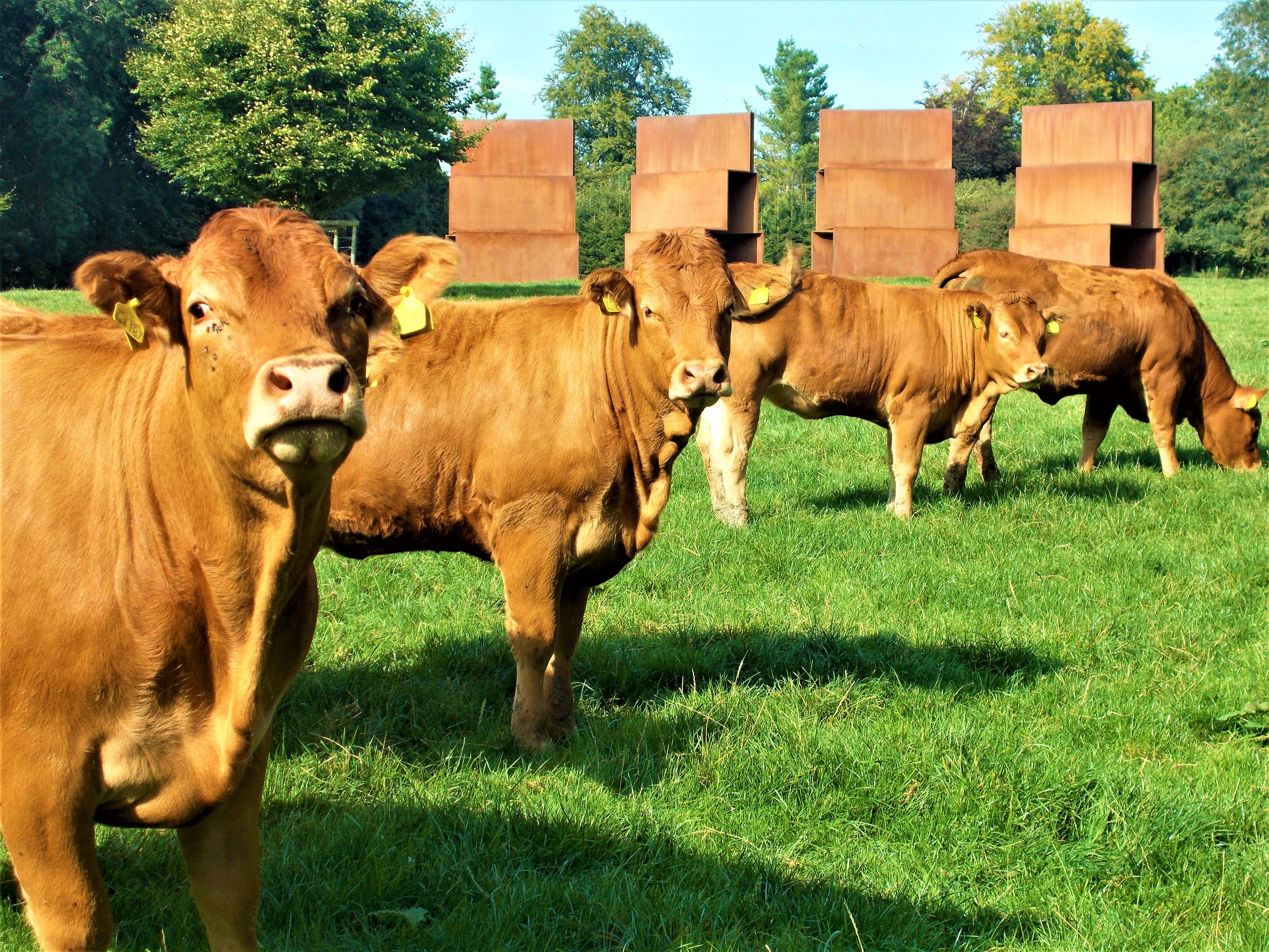 cows roche 1